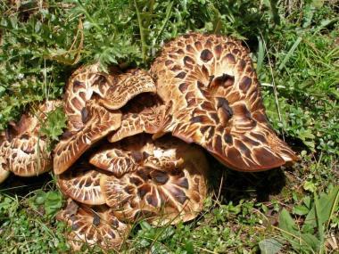 Мицелий Ежовика пестрого / Ежовик чешуйчатый (Sarcodon imbricatus)