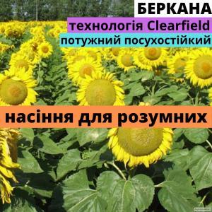 Семена подсолнечника Беркана