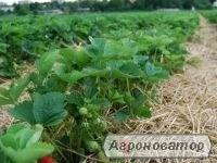 стимулято зростання для полуниці