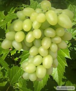 Продаж саджанців винограду різних сортів