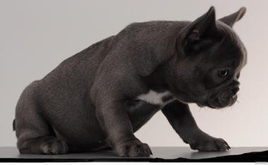 щенков серого французкого бульдога,голубой окрас,пепельный щенок лилак