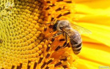 Продам пчелосемьи в Луганской области Кременской район