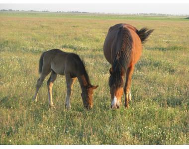 Молодняк і маточне поголів'я коней