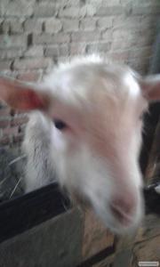 обміняю козел безрогий білий однорічний на дійну козу або продам