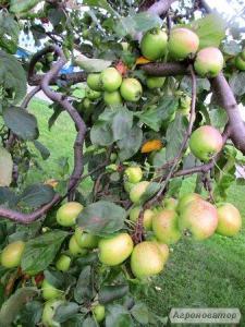 Продам яблоки на переработку!