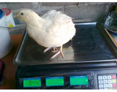 Инкубационные яйца перепелов 3 пород(Техас,Маньчж,Фараон)
