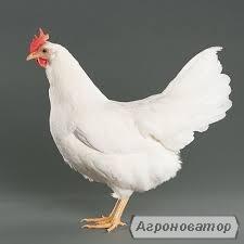 Кури-несучки порода Ломанн Браун