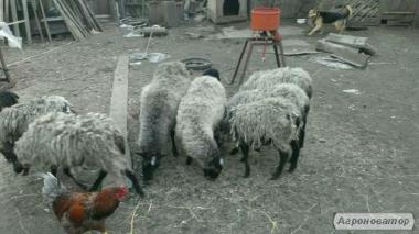 овцы романовские