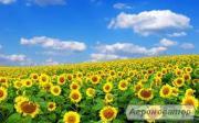 Насіння соняшнику засухожароустойчевый гібрид F1 Рекольд