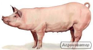 Свині беконної породи