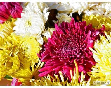 Хризантема, купить хризантему, оптом, Белая Церковь, Киев, Украина, цветы