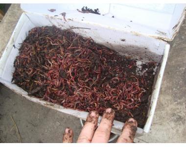 Продам червоного Каліфорнійського хробака,хробака Старателя,Дендробену
