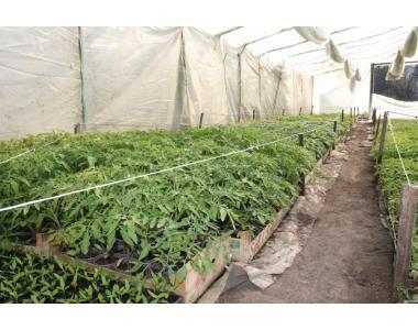 Продам розсаду капусти: рання, середня, пізня, цвітна і т.д.