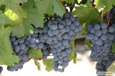 Виноград Изабелла темный