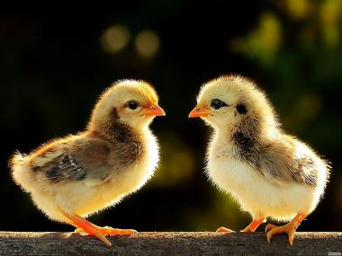 Добові курчата мясояичные