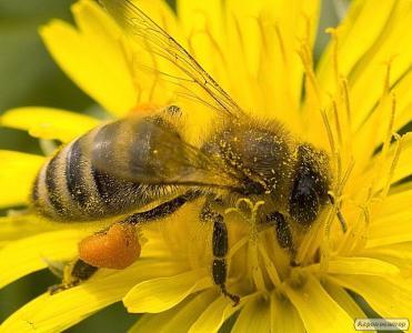Принимаю заказы на пчелопакеты 2017 года