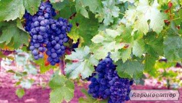 Вино из дубовой бочки