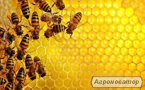 Продам Бджолопакети породи БАКФАСТ