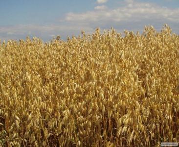 Семена голозерного овса Соломон. 1 репродукция