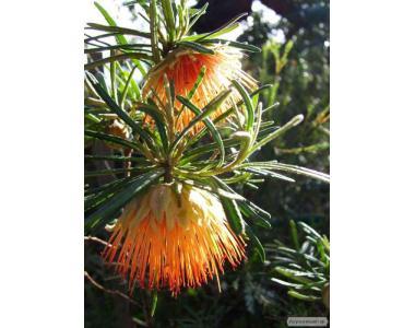 Австралийская западная роза, Diplolaena angustifol