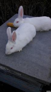 Продам кроликов породы Белый панон