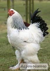 кури брама інкубаційне яйце