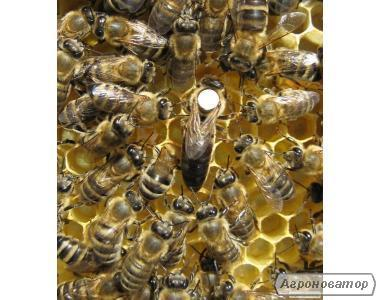 Продам бджоломатки карпатської породи та бджолопакети