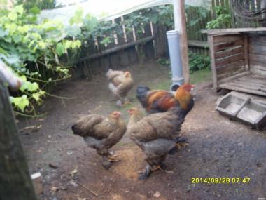 Инкубационные Яйца Куры Брама Куріпчаста