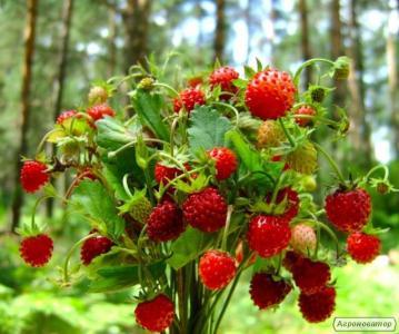 Продам свіжі ягоди лісової суниці!!!