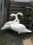 лебеді білі оптом і в роздріб