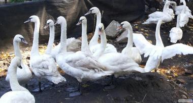 лебеди белые оптом и в розницу