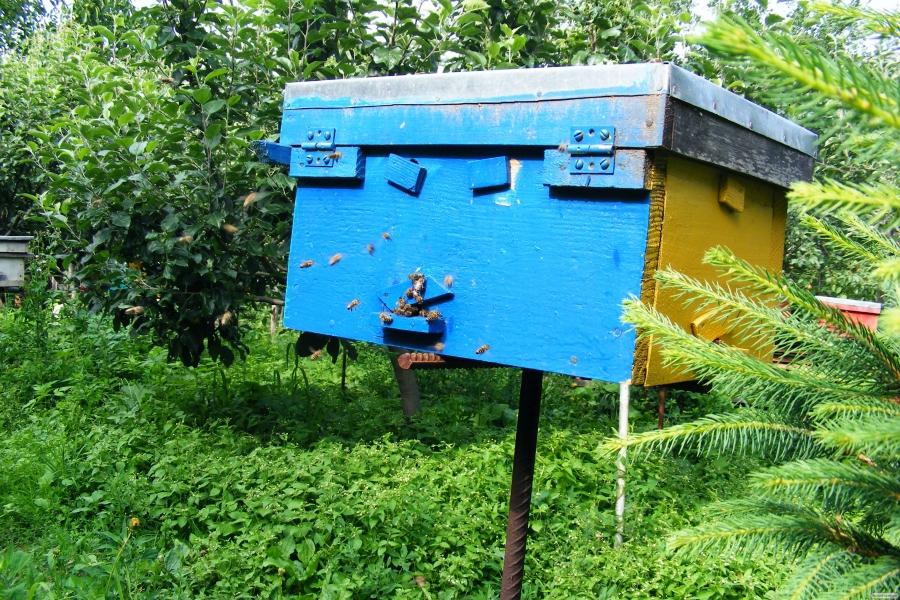 Племенные чистопородные пчеломатки