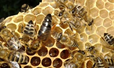 Продам Пчеломатки Карпакти