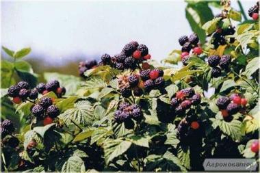 Саженцы черной малины Кумберленд