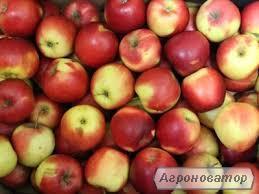 Продаем яблоки из собственного сада