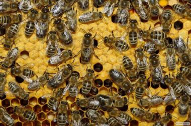 Бджолопакети Карніка 2021.
