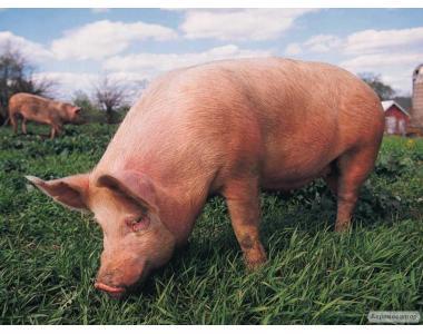 Недороге м'ясо свинини