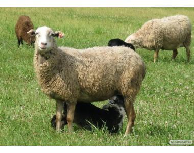 Продам стадо овечок