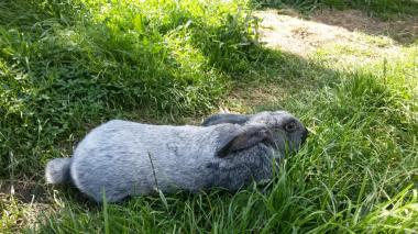 Кролики породы полтавское серебро.