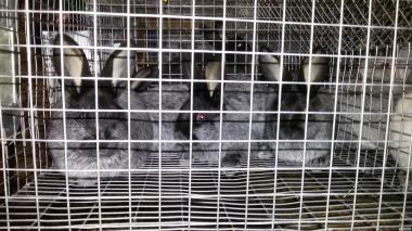 Кролі породи полтавске срібло.