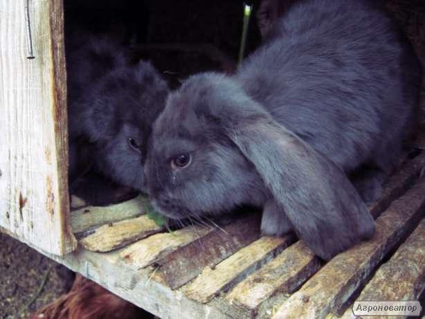 кролик Фландр (крольчиха), молодняк калифорнии
