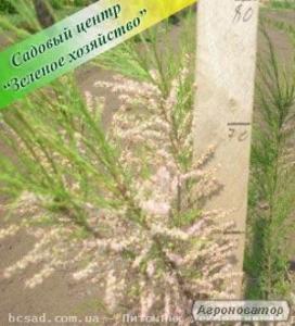 Тамарикс, саженцы, недорого, ландшафтный дизайн, садовый центр, Киев