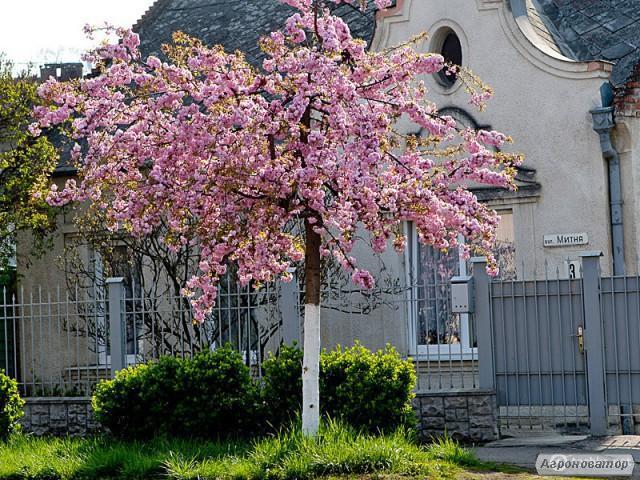 Сакуры Японская вишня
