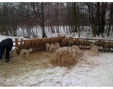 Продам 20 овцематок с ягнятами