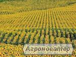Соняшник, сорт Лакомка