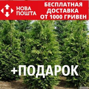 Туя західна насіння 20 шт для вирощування саджанців