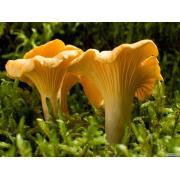 Мицелий (грибница) ЛИСИЧКИ ЖЕЛТОЙ
