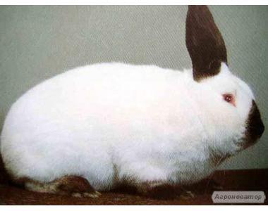 Кролики термонский Білий і м'ясних порід