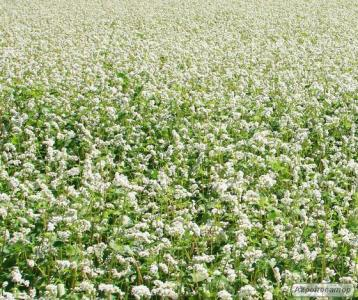 Семена гречихи Девятка. Крупнозернистая. Урожай до 36,3 ц / га.