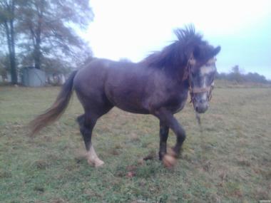 Парування тяжких коней